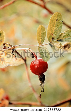 Autumn landscape -  red bright rosehip berry, shallow depth of field, focus at the central berry, creative tonal processing - stock photo