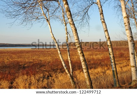Autumn landscape: white paper birch trees and golden grasses and reeds along lake shore at Kathio State Park, Minnesota - stock photo