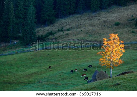 Autumn Landscape with golden tree and grazing cows - stock photo