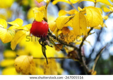 Autumn landscape with rosehip berry (soft focus processing)