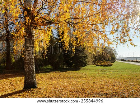 Autumn landscape with the yellowed birch