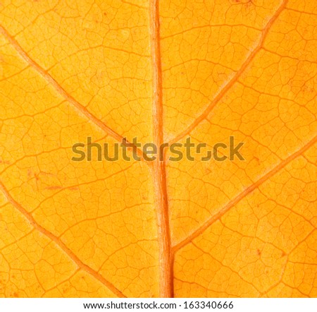 autumn leaf as a background. macro