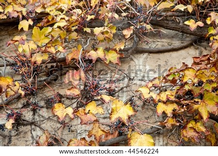 Autumn leaf color is a phenomenon that affects the normally green leaves of many deciduous trees and shrubs by which they take on, during a few weeks in the autumn season - stock photo