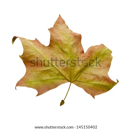 Autumn leaf isolated on white background. Clipping path - stock photo