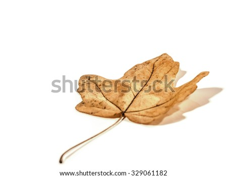 Autumn leaf isolated on white background. Soft focus view. - stock photo