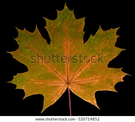 Autumn leaf  maple  on a black background isolated with clipping path.  Nature.  Closeup with no shadows. Macro. Indian summer. Orange, green. For design of cards and web sites about nature. - stock photo