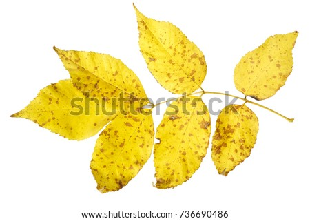 Autumn leaf of ash isolated on white