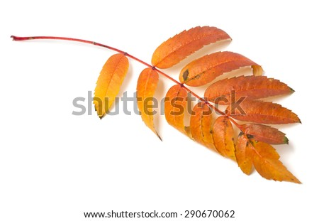 Autumn leaf of rowan isolated on white background. Selective focus - stock photo