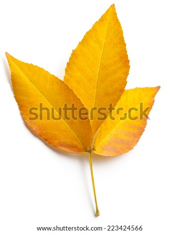 Autumn leaf on white  - stock photo