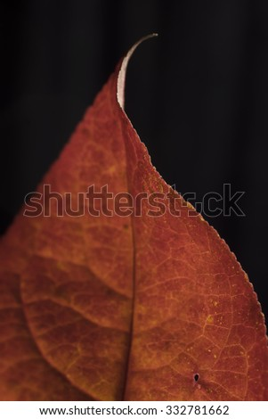 Autumn leaf with curl on black background with shallow depth of field - stock photo