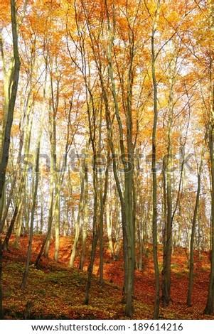 autumn, leafs in autumn forest, Poland, Europe  - stock photo