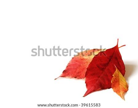 Autumn leafs on a white background - stock photo
