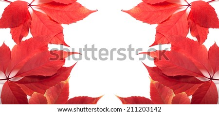 Autumn leaves background with copy space. Virginia creeper leafs. - stock photo