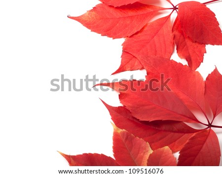 Autumn leaves background with copy space. Virginia creeper leaves. - stock photo