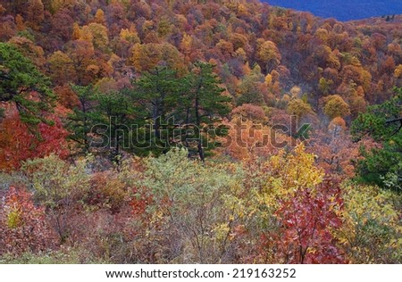 Autumn leaves / fall color along Skyline Drive in Shenandoah National Park in Virginia.  colorful deciduous and coniferous mixed mountain forest woodland in October - stock photo