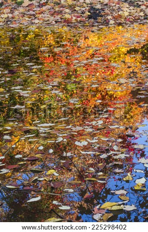 Autumn leaves float on the surface of water with colorful trees reflected behind in Prospect Park, Brooklyn. - stock photo