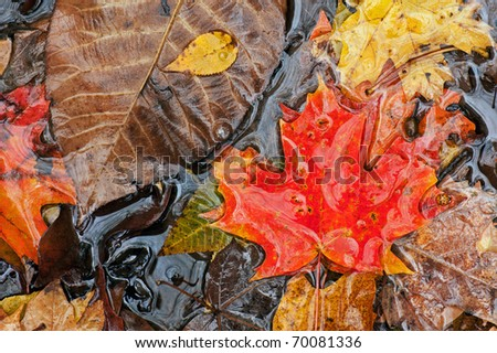 Autumn leaves floating on pond surface