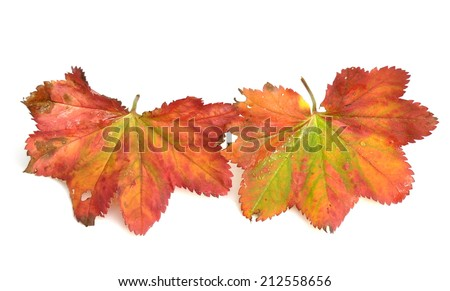Autumn leaves from common lady's mantle - stock photo