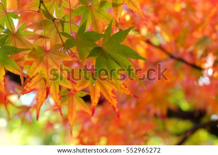 Autumn leaves, japanese red maple tree, Kyoto, Japan