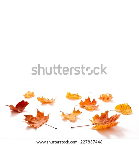 Autumn leaves maple isolated. Autumn golden leaves isolated