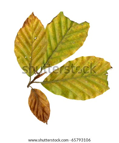 Autumn leaves of a copper beech, under-surface