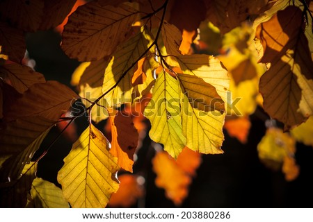 Autumn leaves of beech