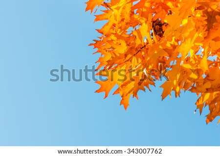 Autumn leaves on a tree against the blue sky on a sunny day