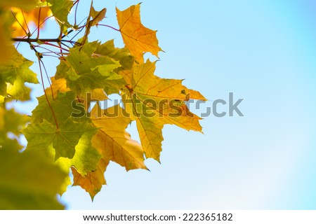 autumn leaves on branch against the blue sky. autumnal background - stock photo