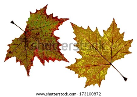 Autumn leaves on isolated white background, vividized pop up version - stock photo