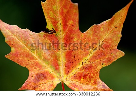 Autumn Leaves Sugar Maple red and orange color - stock photo
