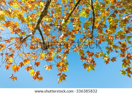 Autumn leaves sycamore tree against a blue sky.