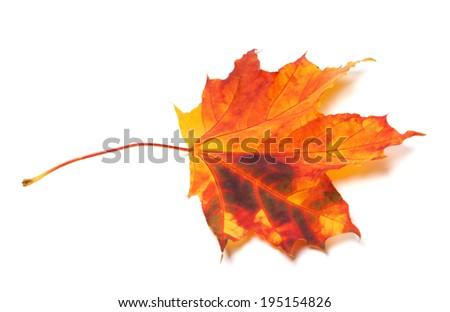 Autumn maple-leaf. Isolated on white background - stock photo