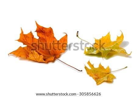 Autumn maple leaf isolated on white background. - stock photo