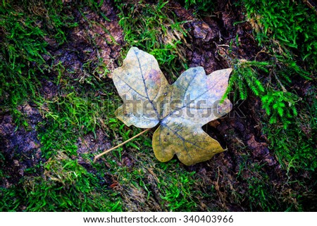 autumn maple leaf on green moss background - stock photo