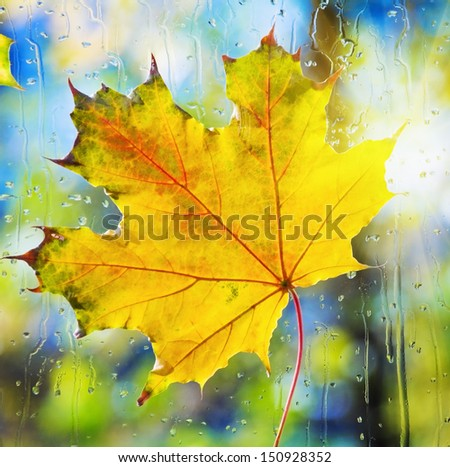 autumn maple leaf stuck on the wet glass - stock photo
