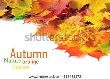 autumn maple leafs - stock photo