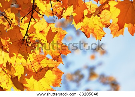 autumn maple leaves against the blue sky - stock photo