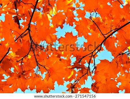 Autumn maple leaves and  blue sky background outdoor - stock photo