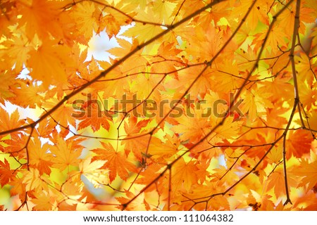 Autumn maple leaves background - stock photo