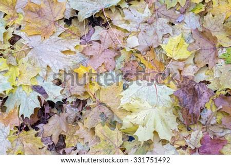 Autumn maple leaves background  - stock photo