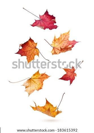 Autumn maple leaves falling down isolated on white background - stock photo