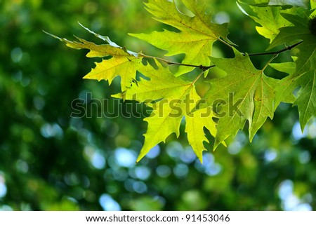 Autumn, maple leaves in a city park