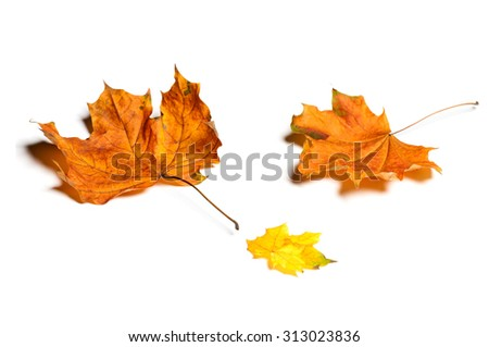 Autumn maple leaves isolated on white background. - stock photo