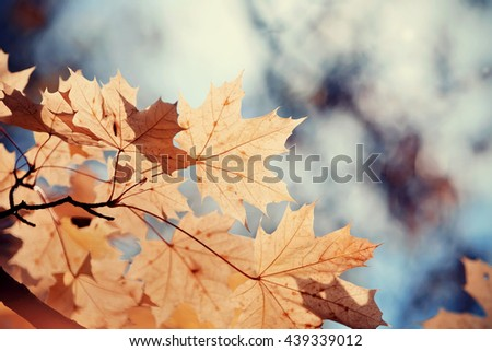 Autumn maple leaves on a branch on a background of dark sky. Golden autumn. - stock photo