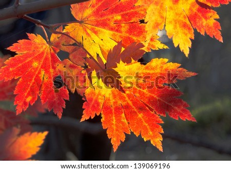 Autumn, maple leaves, red and yellow foliage - stock photo