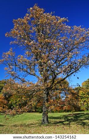Autumn maple tree in peak autumn color at The Morton Arboretum, Lisle, Illinois. - stock photo