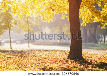 autumn maple tree in sunny fall morning, copy space for etext - stock photo
