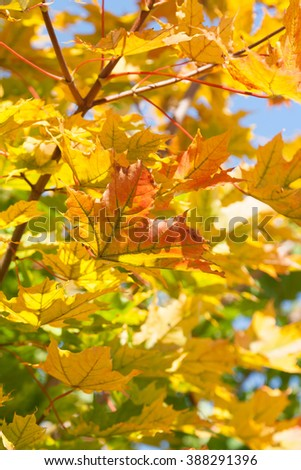 Autumn maple. Yellow-red-green leaves against the blue sky. Leaves on blue sky background. - stock photo