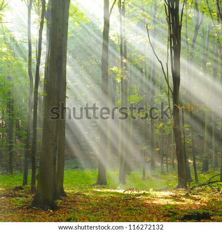 Autumn morning in old beech forest - stock photo