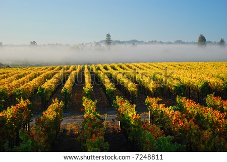 Autumn morning vineyard - stock photo